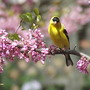 Yellow finch in Redbud Tree