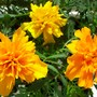 French_marigold