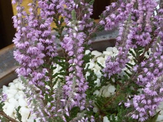 CALLUNA VULGARIS: Silver Knight (Calluna vulgaris (Heather))