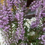 CALLUNA VULGARIS: Silver Knight (Calluna vulgaris (Heather))