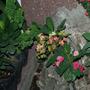Euphorbia Millii (Thai Hybrid)
