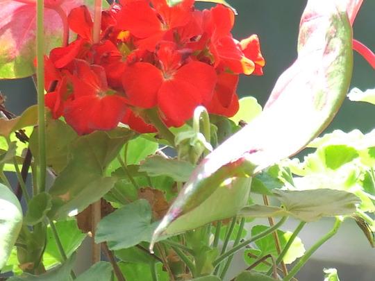 Caladiums and geraniums