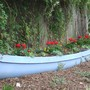 Geraniums in canoe