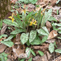 Yellow Trout Lily (Erythronium americanum (Adder Leaf))