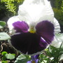 A favourite pansy