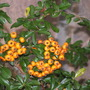 Pyracantha Fall Berries