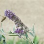 Hummingbird Moth on Purple Butterfly Bush