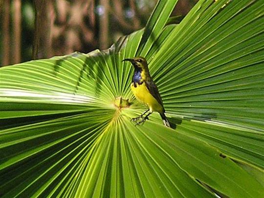 Nectarinia jugularis (Nectarinia jugularis)