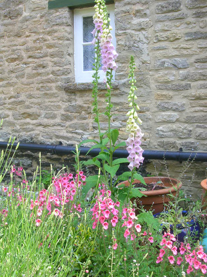 Lovely foxgloves that pop up everywhere