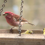 Purple_finch_male_goldfinch_male2_colors_4_12_08