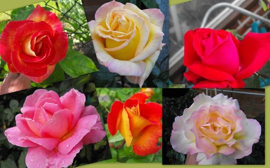 My Summer Roses.....