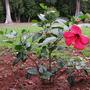 Hibiscus shrub (Hibiscus common pink)