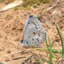 Spring_azure_underwing_on_mud_4_10_08_exc_sm