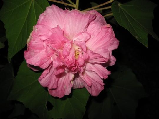 Hibiscus mutabilis (Hibiscus mutabilis (Changing Rose))