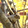 Squirell in the fall in dogwood