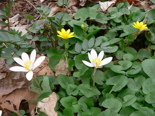 Lesser Celandine and Bloodroot (Ranunculus ficaria (Blameye))