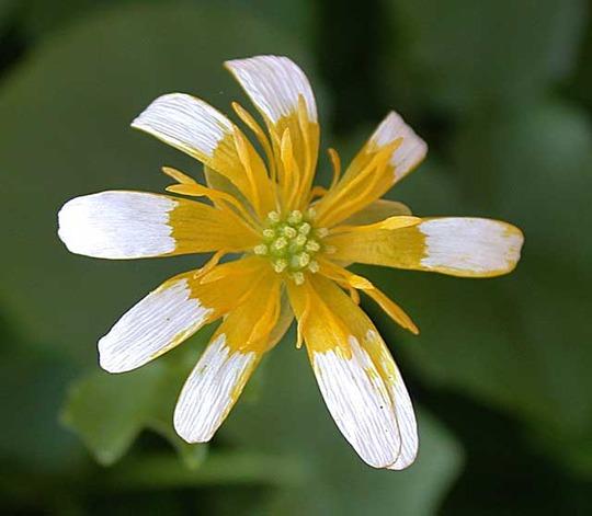 Lesser Celandine (Ranunculus ficaria (Blameye))