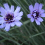 Catananche (Catananche caerulea)