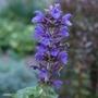 Salvia nemorosa 'Indigo'