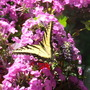 Tiger Swallowtail Butterfly and Tall Garden Phlox