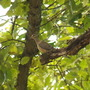 Mourning Dove on dead limb in Elm tree