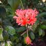 Hibiscus schizopetalus -  Coral Hibiscus, Japanese Laterns