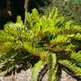Zamia furfuracea - Cardboard Sago Palm (Zamia furfuracea - Cardboard Sago Palm)