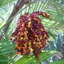 Arenga engleri - Formosa Palm Seeds (Arenga engleri - Formosa Palm)