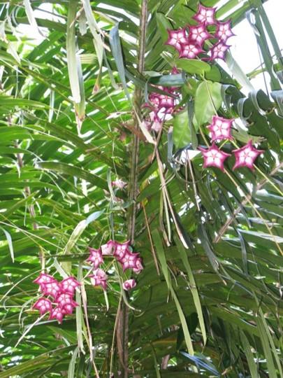 Hoya macgillvrayii (Hoya macgillvrayii)