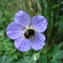 Bee on geranium pratense 'Mrs Kendall Clarke'