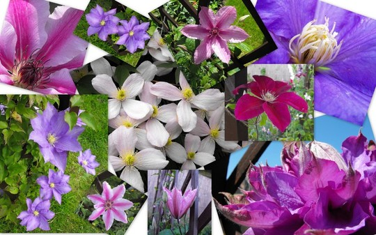 A Clematis Collage :)