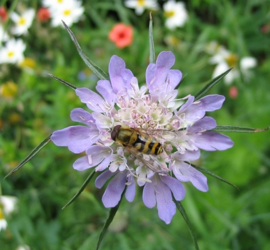 Hover fly on Scabious