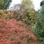 Acer palmatum dissectum atropurpurea (Acer palmatum (Japanese maple))