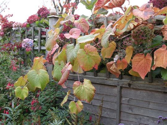 Vine (Vitis coignetiae (Crimson glory vine))