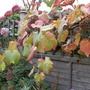 Vine (Vitis coignetiae (Crimson glory vine))