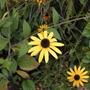 Rudbeckia fulgida 'Goldsturm' (Rudbeckia fulgida (Black-eyed Susan))