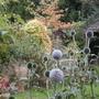 Last Echinops of summer! (Echinops ritro (Globe thistle))