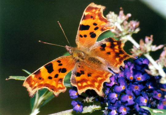 Comma butterfly on Buddleia
