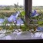 Morning Glories flowering well indoors.