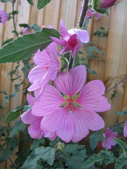 Olbia Rose (Lavatera Shrubby Mallow)
