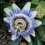 Passion Flower (Passiflora caerulea (Passion Flower))