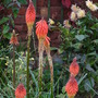 Late flowering Kniphofia (Kniphofia caulescens (Red hot poker))