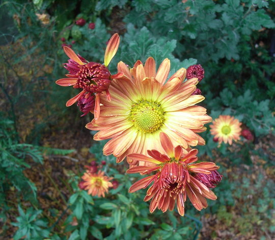 Chrysanthemum rubellum 'Apricot' (Chrysanthemum)