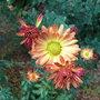 Chrysanthemum_rubellum_apricot_