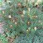 Banskia marginata - 2009 (Banksia marginata)