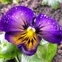 A Pansy From Janette