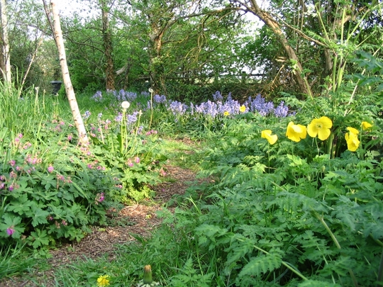 Bluebells and Welsh poppies (Hyacinthoides hispanica,Meconopsis cambrica)