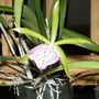 A Welcome Face (Brassavola nodosa (Lady Of The Night))