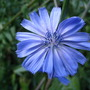 Chicory (Cichorium intybus (Blue Sailors))