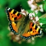 Small Tortoiseshell on Marjoram
